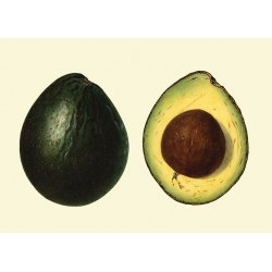 The Dybdahl Co. Avocado